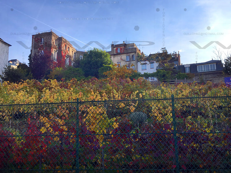 Vine-field-Montmartre-Paris-002