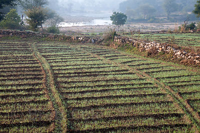 Crop field in the countryside north of Udaipur, Rajasthan, India