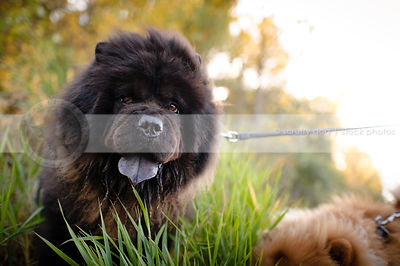 portrait of black chow dog with expression in grasses and sunshine