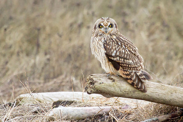 Short-eared Owls photos