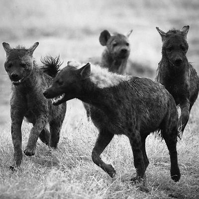 8939-Pack_of_hyenas_Kenya_2006_Laurent_Baheux
