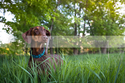 calm red and tan doberman dog in grass clearing