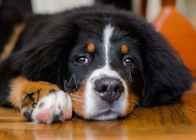 Close-up of Bernese Mountain Dog Puppy Resting Chin on Floor