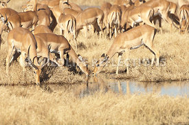 impala_two_does_at_water_1