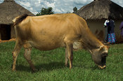 Side view of Dairy cow outside huts Kenya Africa