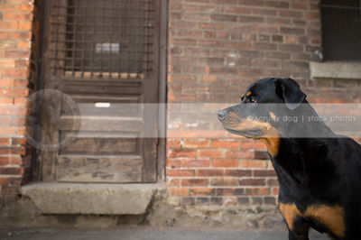 portrait of serious rottweiler dog standing at urban brick wall