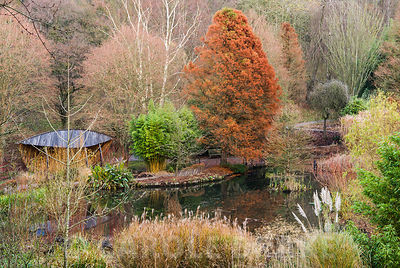 Rusty form of Taxodium distichum, swamp cypress, beside the pond with bamboos and grasses round about. The Sir Harold Hillier Gardens/Hampshire County Council, Romsey, Hants, UK