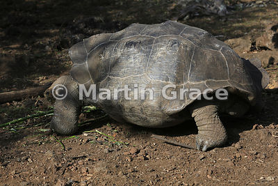Wild San Cristobal Giant Tortoise (Geochelone elephantopus chatamensis) showing the pattern of plates on its carapace, San Cristobal