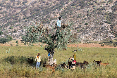 Farmers cut branches from an acacia tree in the Thar Desert to be used for goat fodder, near Kharekhari Village, Pushkar, Rajasthan, India