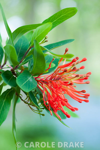 Flower of Embothrium coccineum, the Chilean firebush. The Old Rectory, Netherbury, Dorset