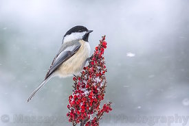 Black-capped Chickadee on Sumac Flower