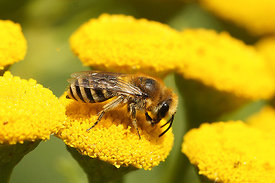 Zijdebij - Colletes species