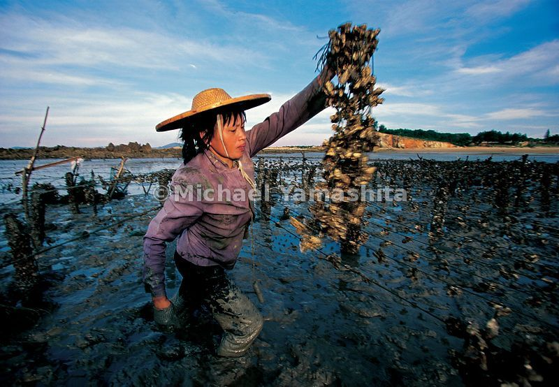 Women do the dirty work of harvesting the oysters.