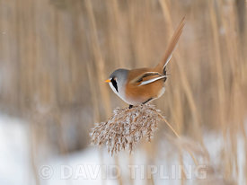 Bearded Tit (Bearded reedling) Panurus biarmicus male feeding on reed seeds in reedbed in North Norfolk in snow February