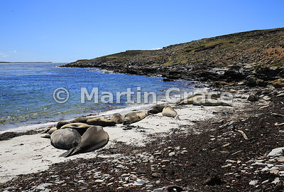 Southern Elephant Seals (Mirounga leonina) sleeping on the beach west of The Plain, Carcass Island, Falkland Islands