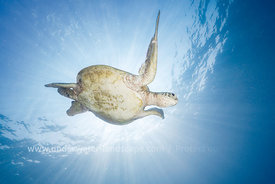 Sea Turtle - Green Turtle