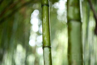 Bamboos photos