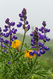Broadleaf Lupine on Mount Townsend Trail in Olympic National Forest