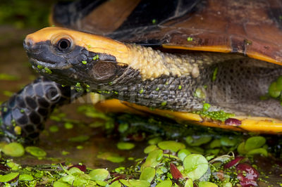 Twist-necked turtle (Platemys platycephala) photos