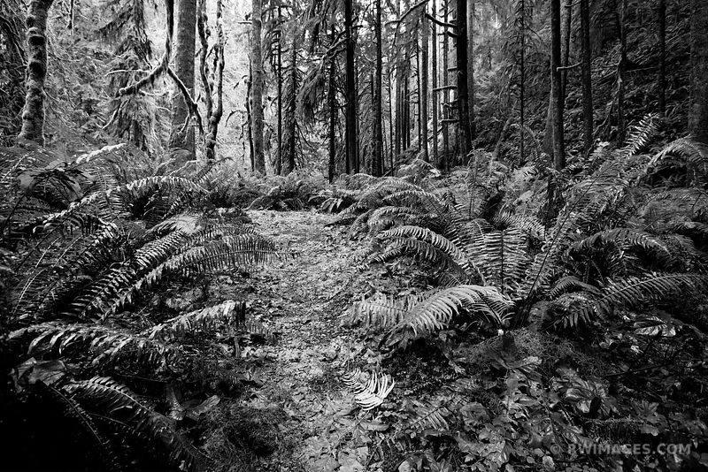 RAINFOREST FERNS MOSSY TREES MARYMERE FALLS TRAIL OLYMPIC NATIONAL PARK WASHINGTON BLACK AND WHITE