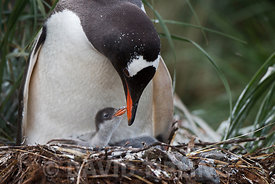 Gentoo Penguin Pygoscelis papua chick begging for food in nest South Georgia
