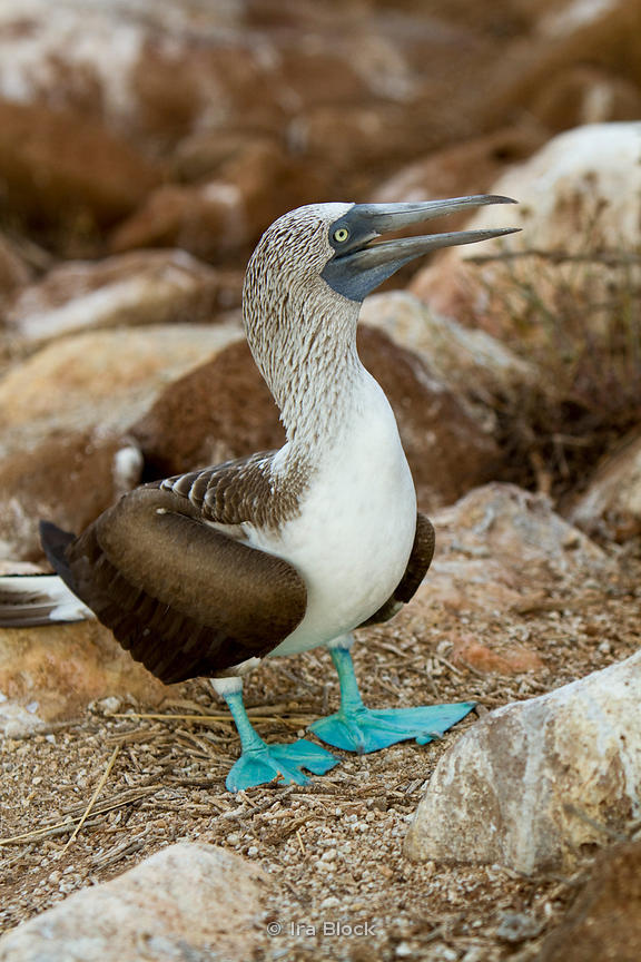 A Blue-Footed Booby spotted amongs the rocks on the shoreline of North Seymour Island.