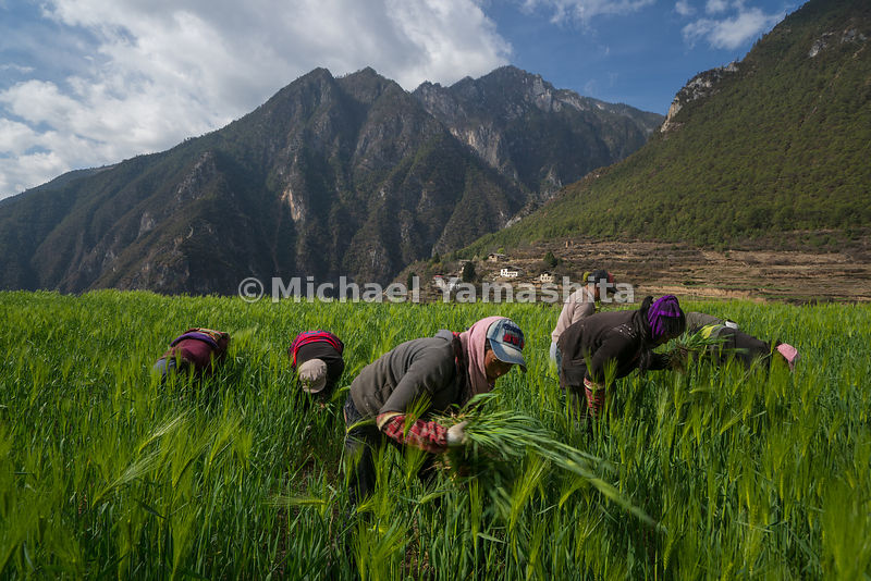 Old ways prevail in Yunnan mountain communities such as Yalang, where women still tend their barley fields by hand. Barley is a common ingredient in local dishes and in a popular specialty—barley wine.