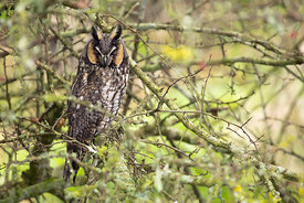 January - Long-eared Owl