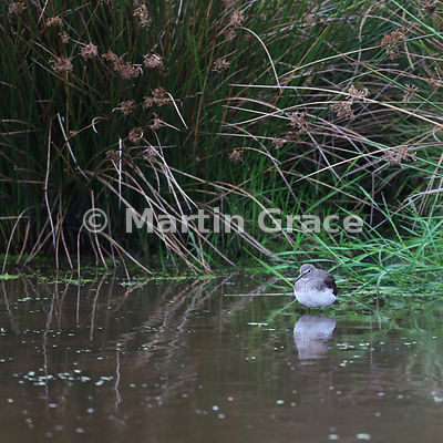 Common Sandpiper (Actitis hypoleucos) standing in the water of a rushy pool, Knowsley, Merseyside, England
