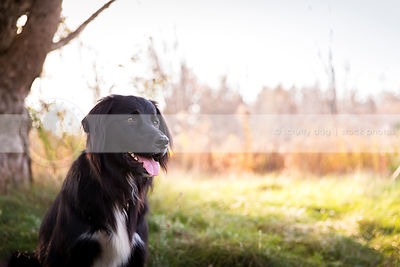 portrait of flatcoated retriever cross dog with minimal background