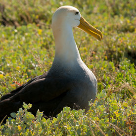 Waved Albatross wildlife photos