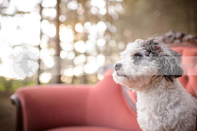 closeup headshot of grey and white dog on pink settee outdoors