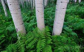 Aspens and Ferns | Elk Mountains, CO