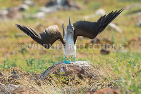 blue_footed_booby_north_seymour-67