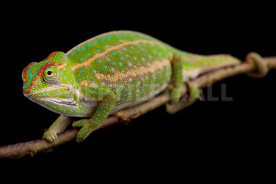 Jeweled chameleon (Furcifer campani) photos
