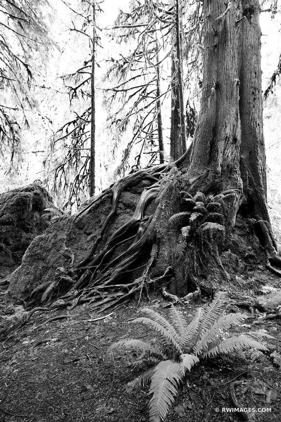 RAINFOREST MARYMERE FALLS TRAIL OLYMPIC NATIONAL PARK WASHINGTON VERTICAL BLACK AND WHITE