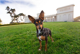 Miniature Pinscher Mix with Big Ears Standing in Front of Legion of Honor