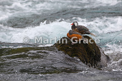 Pair of Torrent Ducks (Merganetta armata), Rio Petrohue, Parque Nacional Vicente Perez Rosales, Los Lagos, Chile