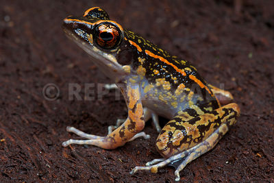 Striped stream frog (Hylarana signata) photos