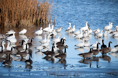 Snow Geese (Chen caerulescens) and Canada Geese (Branta canadensis) in the wetlands of the Tule Lake NWR, California
