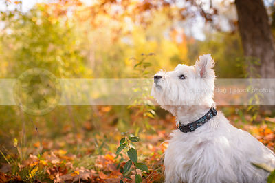 small groomed white terrier sitting in autumn setting