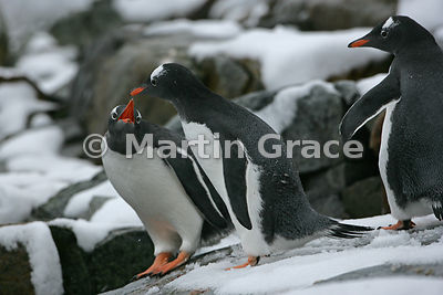 Gentoo Penguins (Pygoscelis papua), Petermann Island, Antarctic Peninsula
