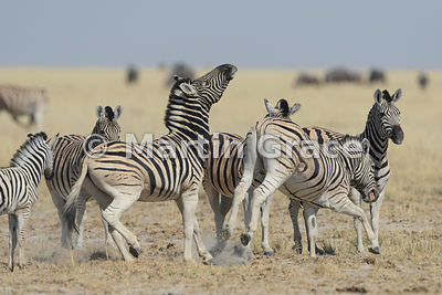 One Plains Zebra (Equus burchellii) about to be kicked by another, Etosha National Park, Namibia