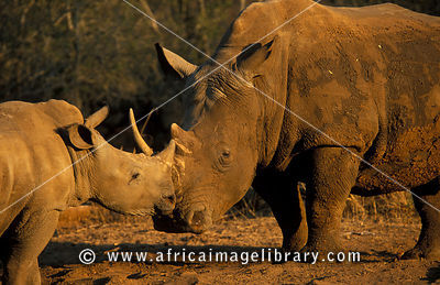 White rhinoceros with young (Ceratotherium simum), Hlane Royal National Park, Swaziland