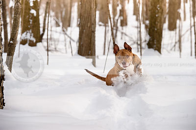 fun stock photograph of brindle pit bull playing in deep winter snow