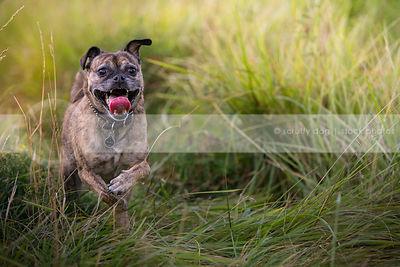 happy puggle dog running in grasses in summer
