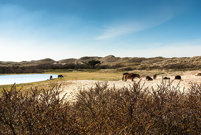 Herd of Konik horses near a dune lake