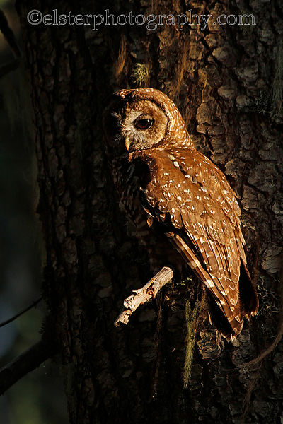 Spotted owls photos