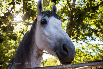 Friendly grey horse