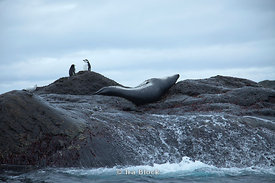 A leopard seal sleeping next to chinstrap penguins on rock by the sea around Elephant Island.